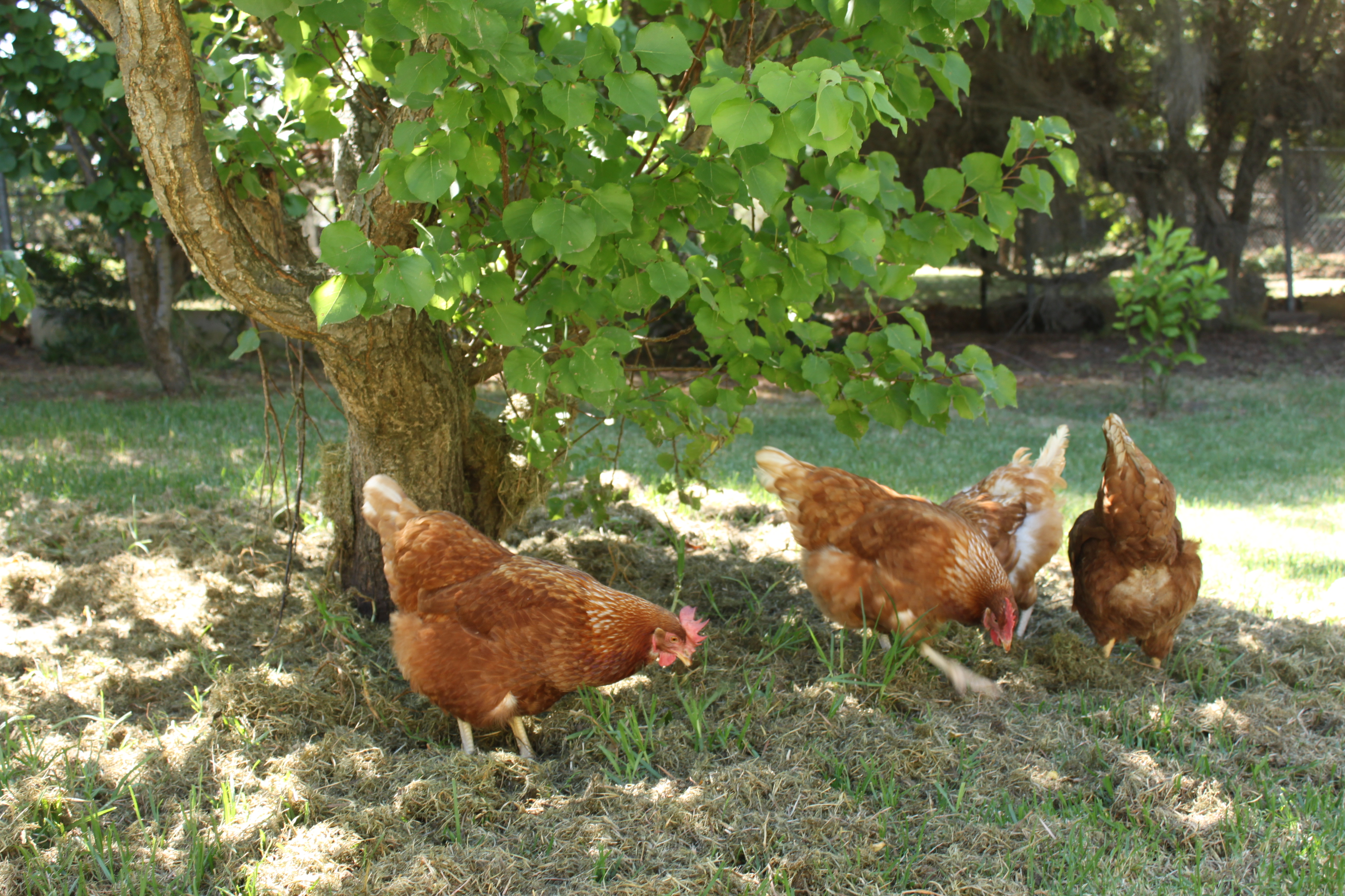 why keep ex battery hens happy chooks